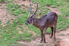Common Waterbuck Kobus ellipsiprymnus. On the dirty mud and green grass Stock Photos