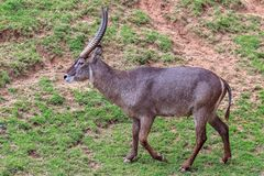 Common Waterbuck Kobus ellipsiprymnus. On the dirty mud and green grass Stock Images