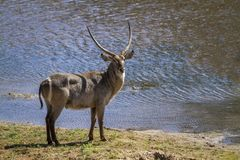 Common Waterbuck in Kruger National park, South Africa. Specie Kobus ellipsiprymnus family of Bovidae royalty free stock image