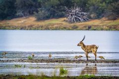 Common Waterbuck in Kruger National park, South Africa. Specie Kobus ellipsiprymnus family of Bovidae royalty free stock photos