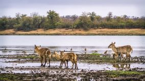 Common Waterbuck in Kruger National park, South Africa. Specie Kobus ellipsiprymnus family of Bovidae stock image