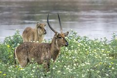 Common Waterbuck in Kruger National park, South Africa. Specie Kobus ellipsiprymnus family of Bovidae royalty free stock images