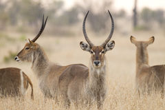 Common Waterbuck, South Africa. Male common Waterbuck (Kobus ellipsiprymnus) in South Africa's Kruger Park Stock Photo