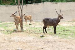 Common waterbuck standing on the green grass. In the zoo Stock Image