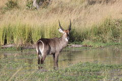 Common Waterbuck in water Royalty Free Stock Photography