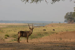 Common Waterbuck in the Zamezi valley Stock Photo