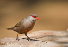 Common Waxbill Royalty Free Stock Photos