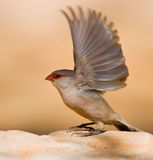 Common Waxbill. Flaps it wings to take off from a bird bath Stock Image