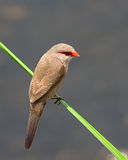 Common Waxbill Royalty Free Stock Image