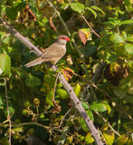 Common Waxbill on Blackberry bush Stock Photography