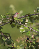 Common Waxbill on Blackberry bush Stock Images