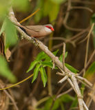 Common Waxbill on branch Stock Images