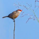 Common Waxbill, eating seed. A Common Waxbill, clinging to a thorny branch, reaching out to a 'hand' of grass seed, feeding Stock Photography
