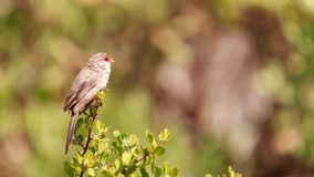 Details of a Common Waxbill stock photo