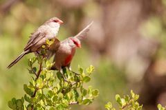 Details of a Common Waxbill stock images