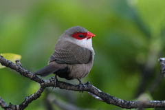 Common Waxbill Estrilda astrild. The Common Waxbill is a small passerine bird belonging to the estrildid finch family and is native to Africa stock photo
