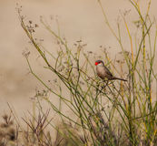 Common Waxbill on grass Stock Image