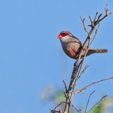 Common Waxbill, Perched. A Common Waxbill perched on a dead twig in Kenya's Nairobi National Park Royalty Free Stock Photos