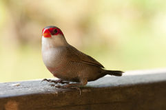 Common Waxbill. A common waxbill is resting Royalty Free Stock Images