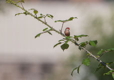 Common Waxbill on a spiny branch Royalty Free Stock Photos