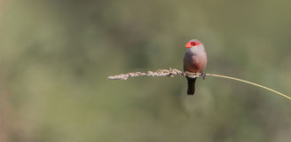 Common Waxbill on a twig stock photography