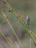 Common Waxbill with wild fruits Stock Image