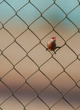 Common Waxbill on the wire Royalty Free Stock Photography