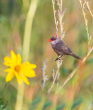 Common Waxbill with yellow flower Royalty Free Stock Photos