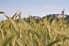Common wheat. Close up of common wheat in June Stock Photography