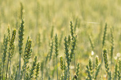 Common Wheat Royalty Free Stock Photos