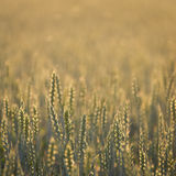 Common Wheat Royalty Free Stock Images