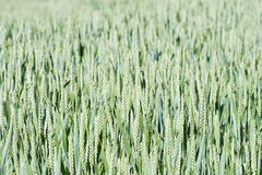 Common wheat (triticum aestivum) Royalty Free Stock Image