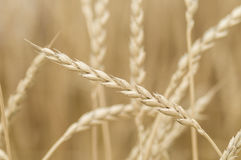 Common wheat, Triticum aestivum, variety spelta. Spikes of bread wheat, Triticum aestivum, spelta subspecies Royalty Free Stock Photos