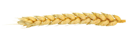 Common wheat Stock Photography