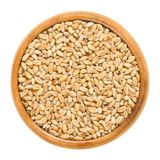 Common wheat in wooden bowl over white. Common wheat in wooden bowl. Bread wheat. Crop, cereal grain and staple food. Seeds of Triticum aestivum. Isolated macro Royalty Free Stock Photo