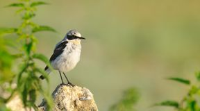 Common wheatear Royalty Free Stock Photography