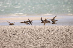 Common Whimbrel in flight Royalty Free Stock Photo