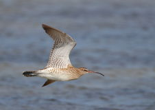 Common Whimbrel in flight Royalty Free Stock Image
