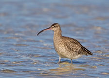 Common Whimbrel Standing In Water Royalty Free Stock Image