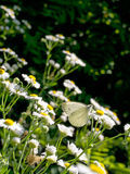 Common white butterfly on daisies, backlit. Royalty Free Stock Image