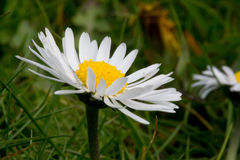 Common white daisy close  up. A common white daisy close  up Royalty Free Stock Image