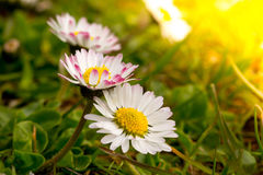 Common white daisy close  up. A common white daisy close  up Stock Photography