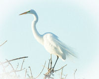 Common White Egret Royalty Free Stock Photos