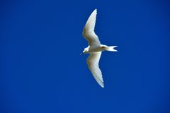 Common white tern Royalty Free Stock Images