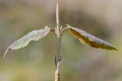 Common whitebeam (Sorbus aria agg.) new leaves and bud Stock Photography
