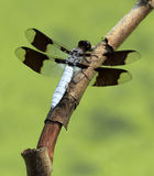Common Whitetail Dragonfly Royalty Free Stock Photo
