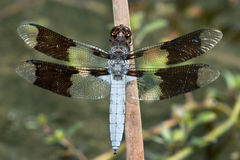 Common Whitetail, Dragonfly Royalty Free Stock Images