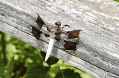 Common Whitetail Dragonfly Stock Photos