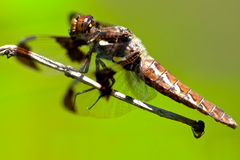 Common Whitetail Dragonfly Stock Photo