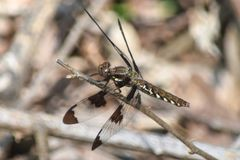 Common Whitetail Dragonfly. A common whitetail dragonfly grasps a twig at Morgan Falls Overlook Park in Sandy Springs, Georgia Stock Photography